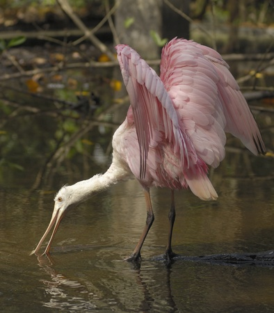 Roseate Spoonbill On Pond Stock Photo - 10324502