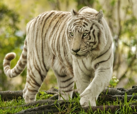 tiger white: White Bengal Tiger Approaching Stock Photo