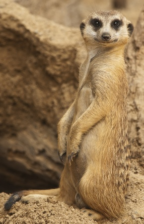 erected: Meerkat Looking at Camera Stock Photo