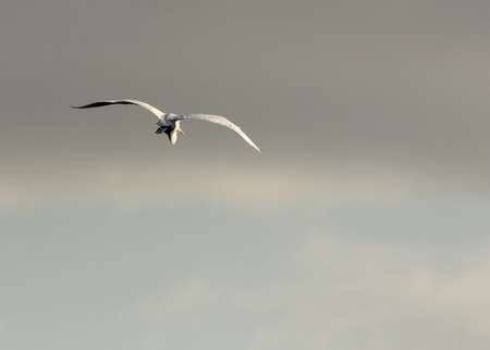 farewell: Great White Heron Flying Away
