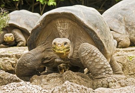 Galapagos Tortoises Approaching Banco de Imagens