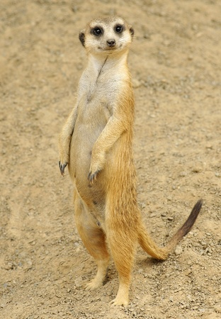 Inquisitive Meerkat Standing photo