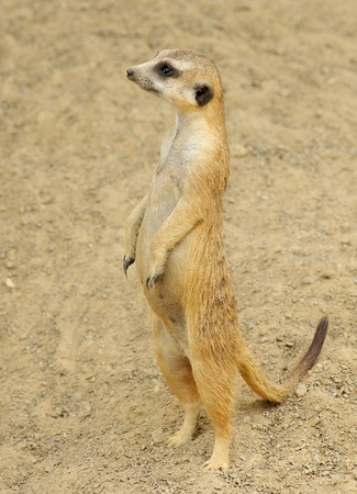 mongoose: Profile of a Meerkat Standing   Stock Photo
