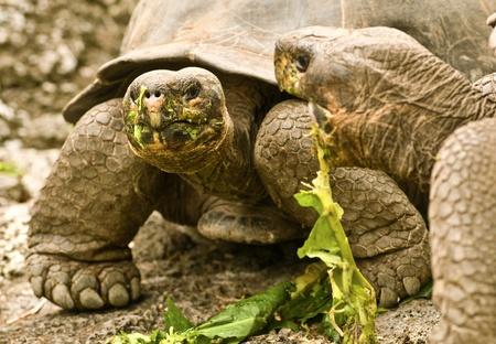 Giant Tortoises Feeding Banco de Imagens