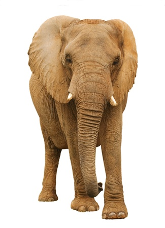 Isolated African Elephant Charging Banco de Imagens