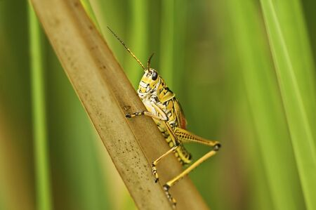 Everglades Grasshopper Stock Photo