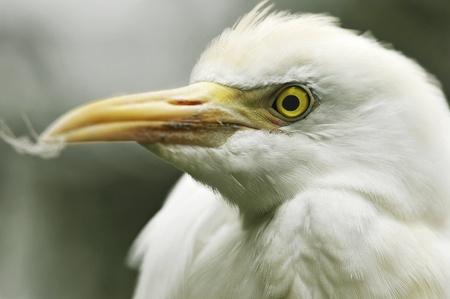 Great White Heron Profile Stock Photo - 10705129