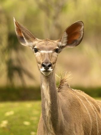 mountain peek: Alert Thompson Gazelle