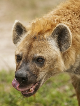 carnivore: Wild Spotted Hyena Eating Stock Photo