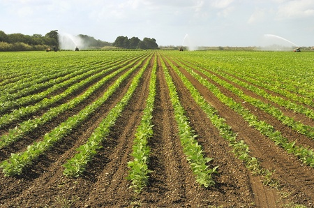 irrigated: Cultivated Field Being Irrigated