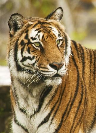 intrusive: Bengal Tiger Portrait