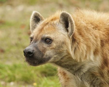 Alert Hyena Profile