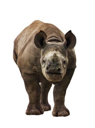 Endangered Young Black Rhinoceros Isolated Stock Photo