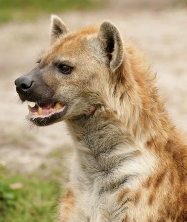 Alert Hyena Portrait photo