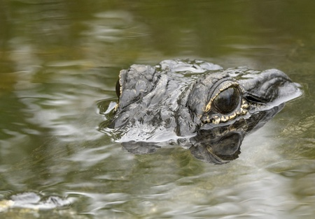 amphibious: Alligator Stalking Prey Stock Photo