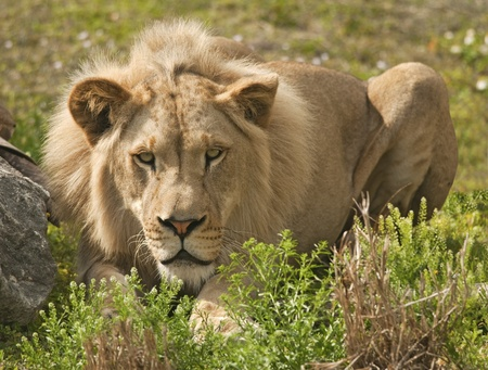 Lion Hiding and Stalking Prey Stock Photo