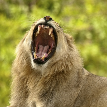 Male Lion Showing Teeth Imagens - 10876296