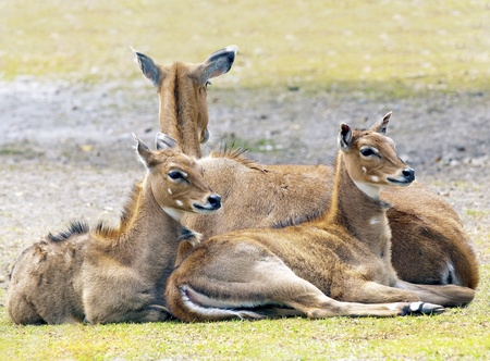 mountain peek: Mother Caring for her Young Deers Stock Photo