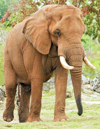 big ear: African Elephant covered in Mud Stock Photo