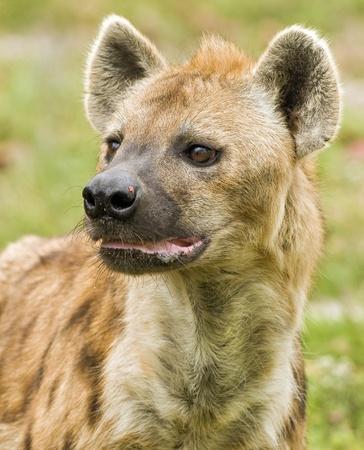 Hyena on the Prowl photo