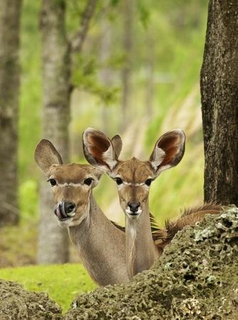mountain peek: Mother and Cub Gazelles