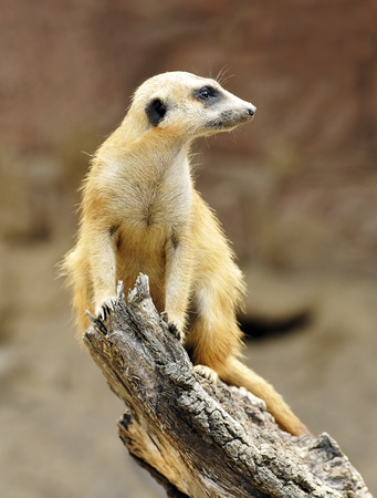 vigilant: Vigilant Meerkat on trunk