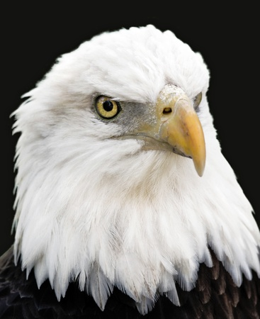 Bold Eagle Portrait Stock Photo