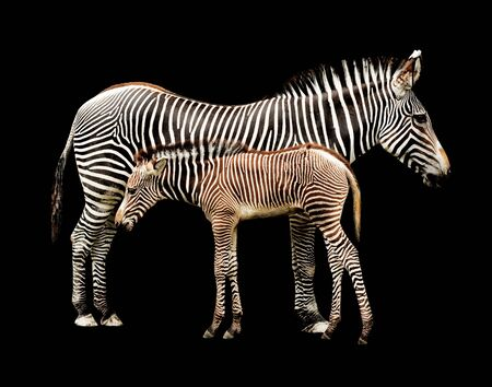 burchell: Mother and Calf Zebras
