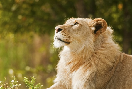 Day Dreaming Lion