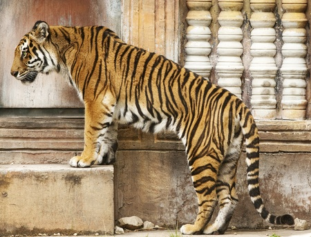 intrusive: Bengal Tiger on Step Stock Photo
