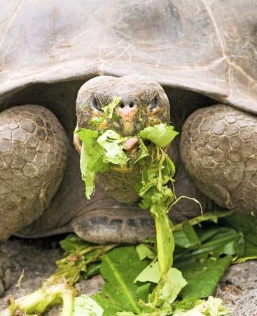 Galapagos Tortoise Eating