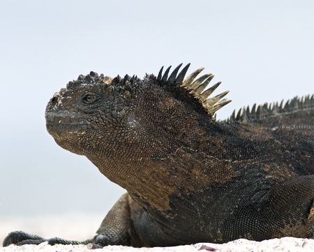 Galapagos Marine Iguana Profile photo