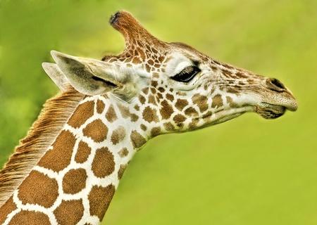 Baby-Giraffe High Detail Profil