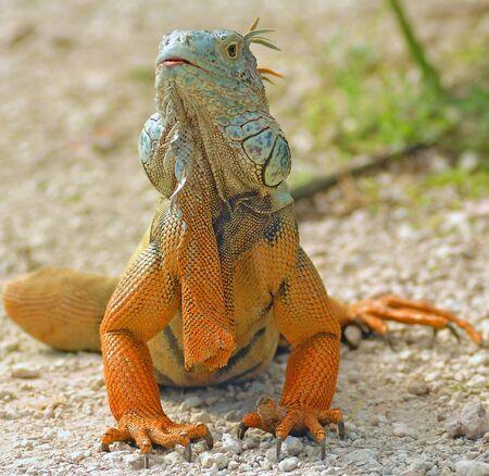 Camouflaged Iguana