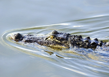 alligator eyes: American Alligator Stalking Prey