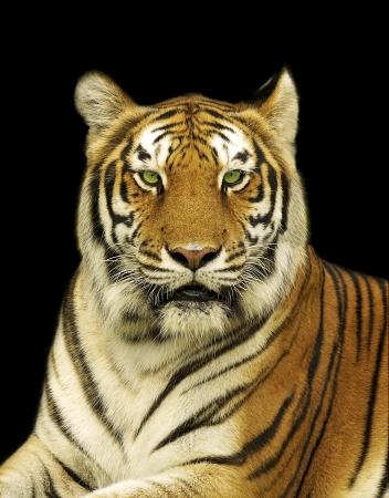 Bengal Tiger in Dark Background Stock Photo
