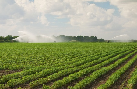 irrigated: Fertile Field Being Irrigated