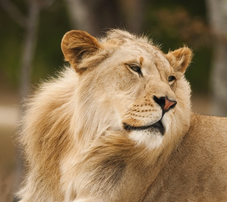 regal: Male Lion Profile