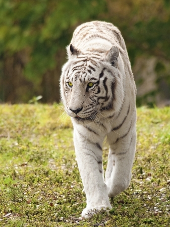 yellow tigers: White Bengal Tiger Approaching Stock Photo