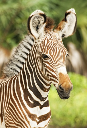 burchell: Grevy Zebra Calf  Profile Stock Photo