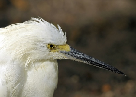 Great White Heron Profile photo
