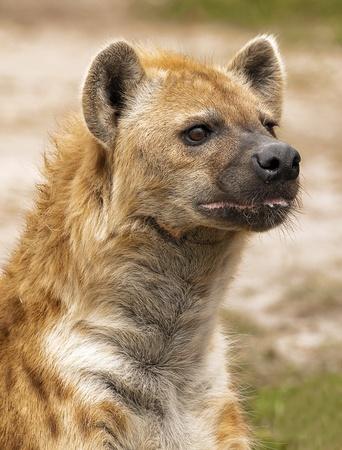 scavenge: Wild Hyena Profile