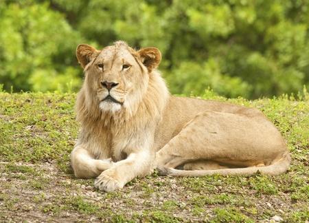 africat: Young Male Lion -  Panthera leo