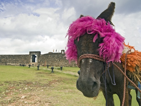 Traditional Donkey at the San Felipe Fortress in Puerto Plata, Dominican Republic photo