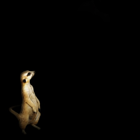 mongoose: Meerkat Looking Up in the Shadows