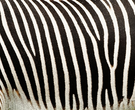 Texture Background of a Zebra Fur Stock Photo