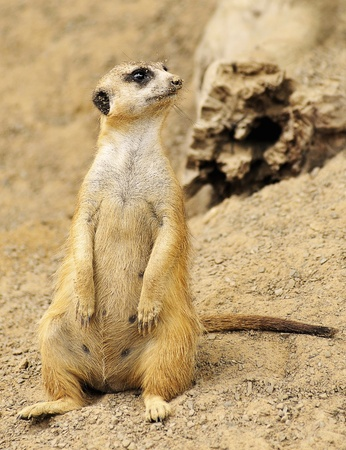 Female Meerkat on the Sand photo