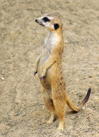 Meerkat Standing in the Sand