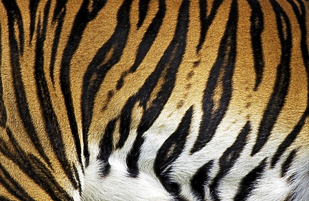Abstract Tiger Fur Texture