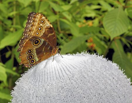 buckeye: Buckeye Butterfly on a Woman Wool Hat Stock Photo